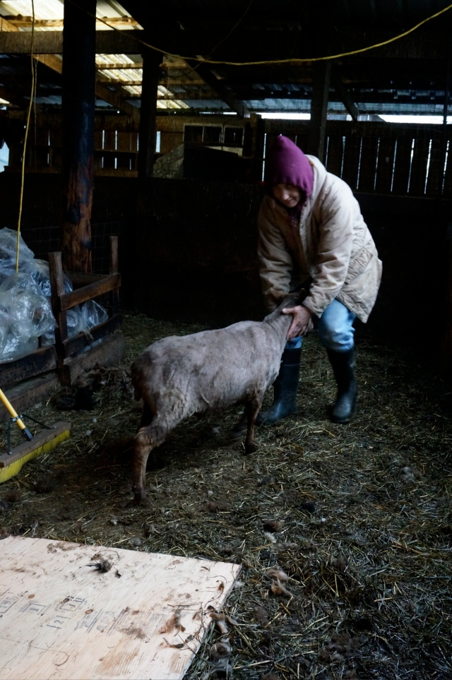 Eliz moving sheared sheep