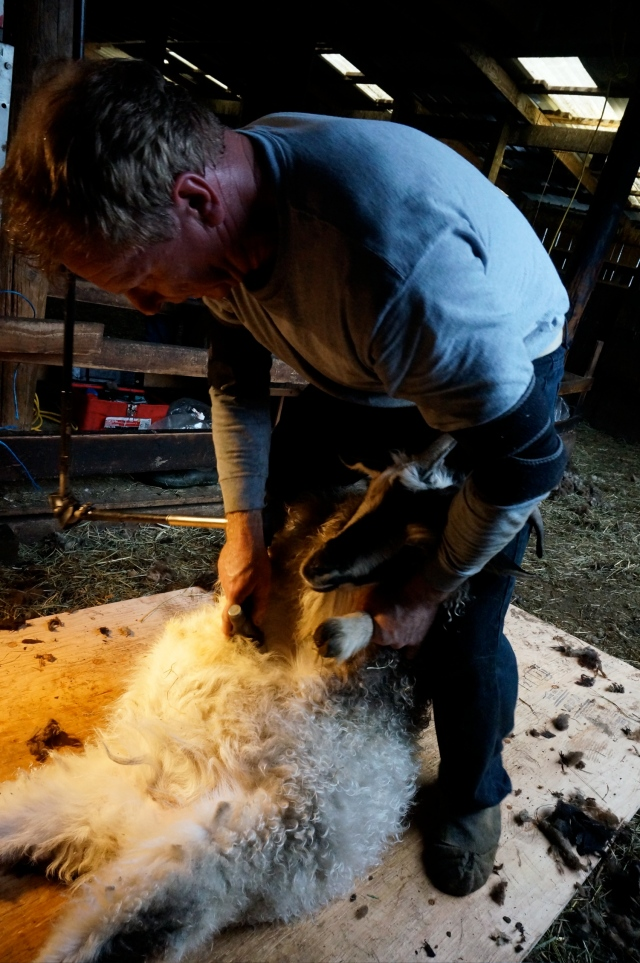 Mr D being sheared
