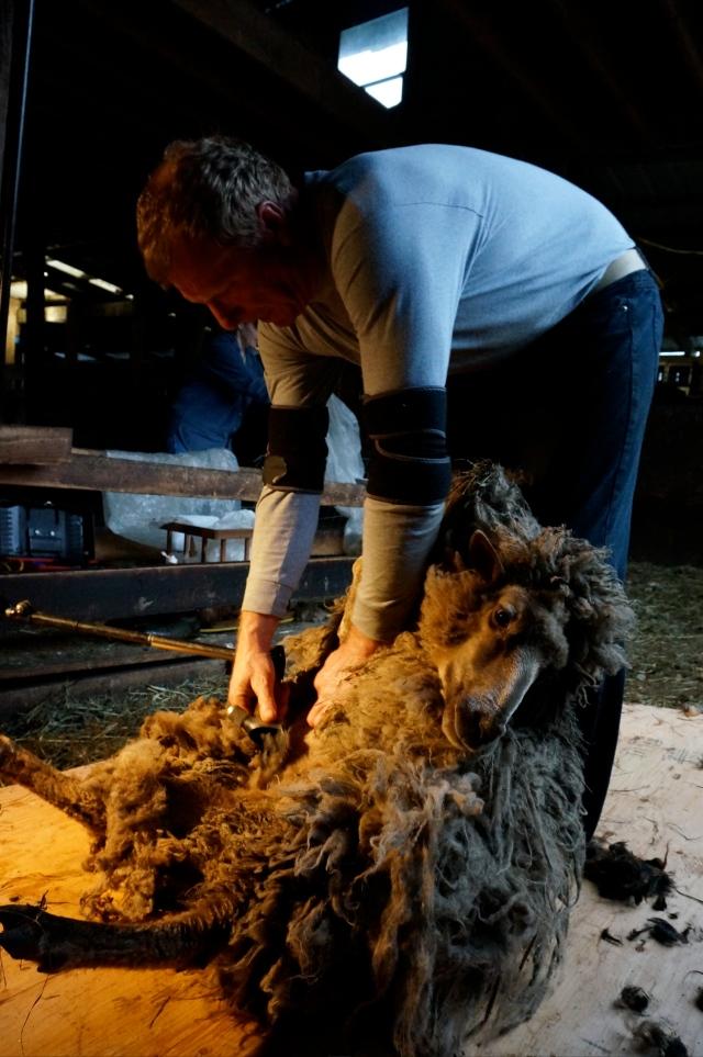 shearing Jemima