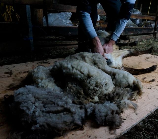 shearing_2