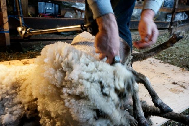 shearing_3