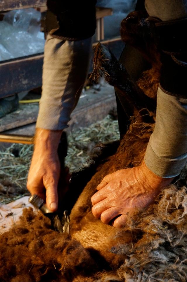 shearing_6