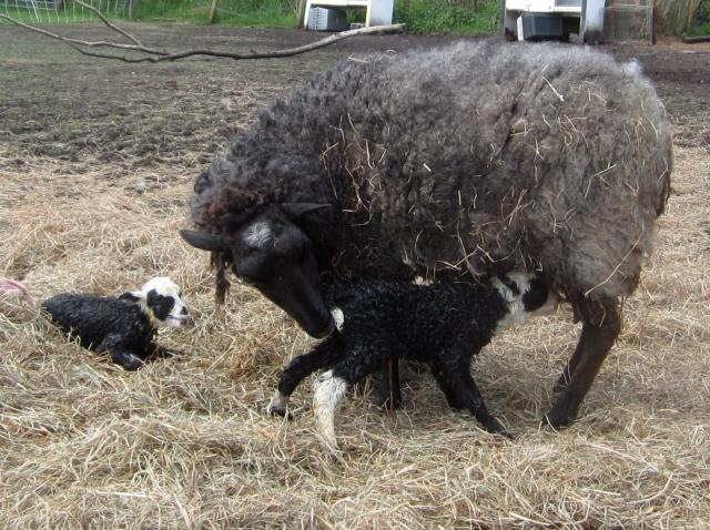 both lambs