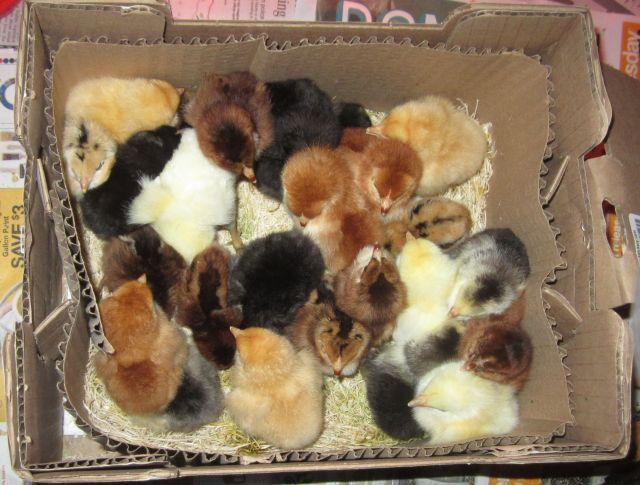 chicks in box
