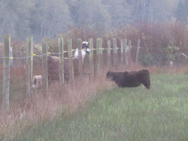 rams llama and calf meeting