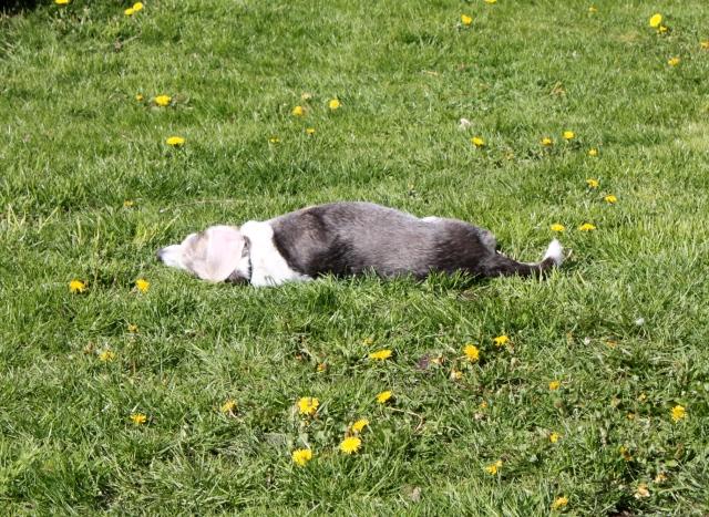 sunny beagle