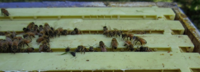 bees of top of frame