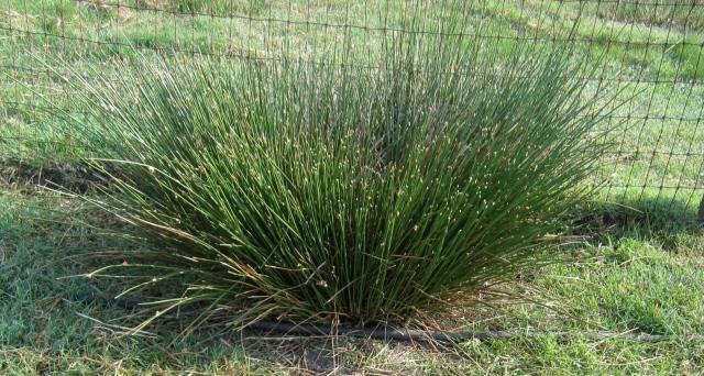 swamp grass clump