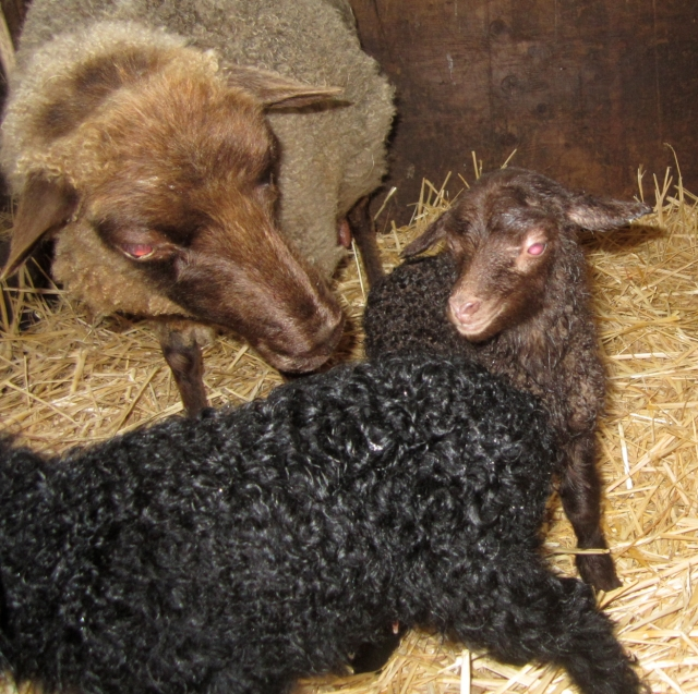 brown lamb