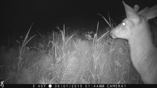 buck again on game camera