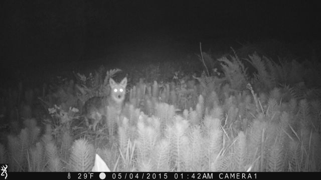 coyote on game camera