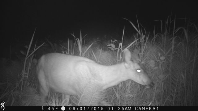 doe again on game camera