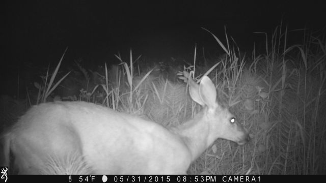 doe on game camera