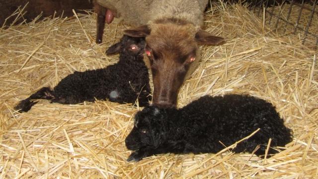 Heidi lambs