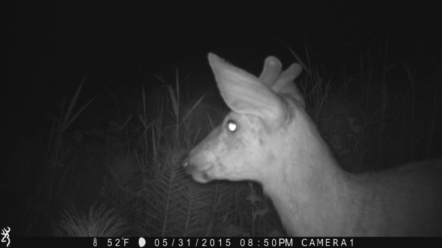 night buck on game camera