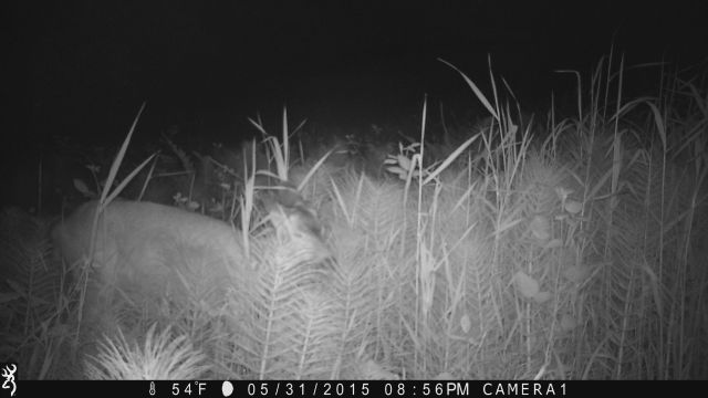 smaller deer on game camera