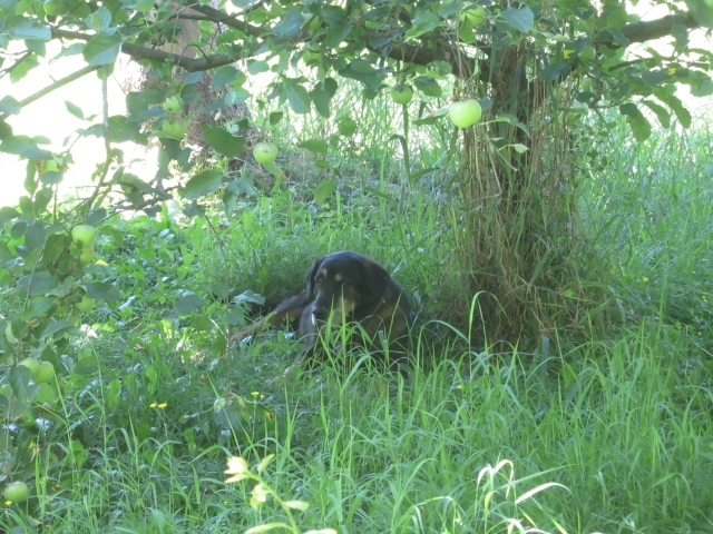 Mopar in orchard
