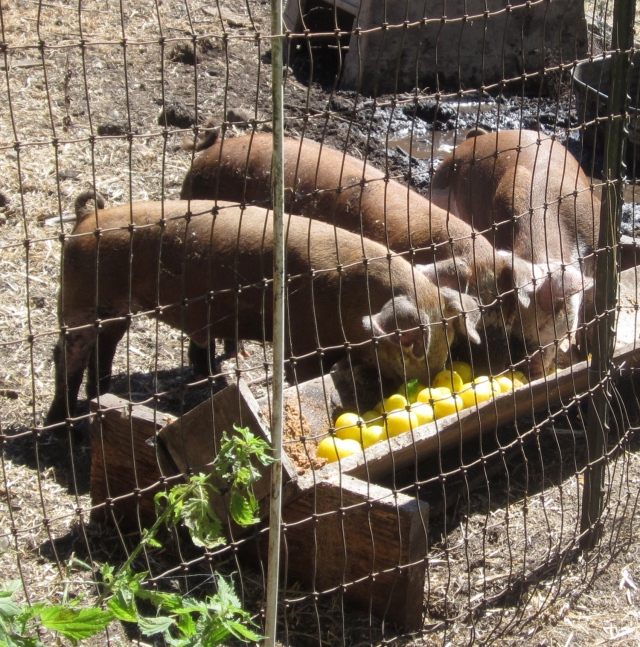 pigs and plums