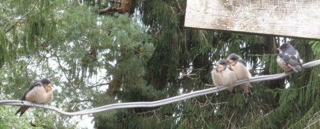 barn swallows again