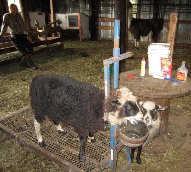 Maybelle sheep maintenance