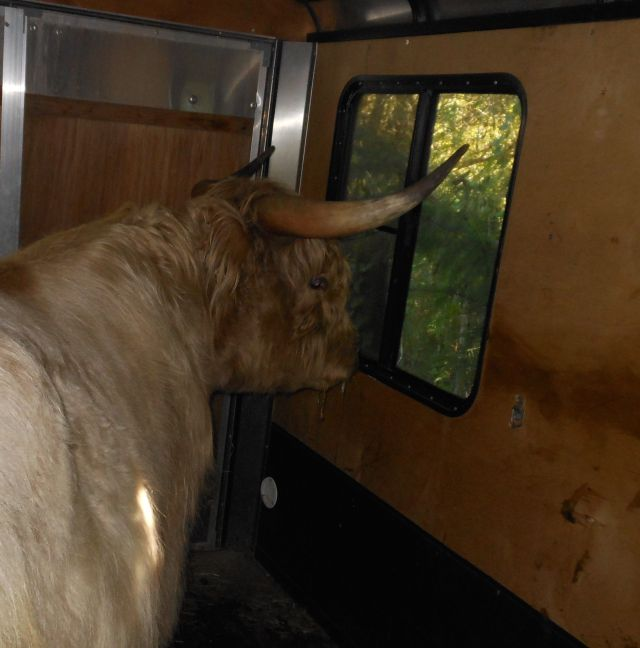 Rowdy looking out trailer window