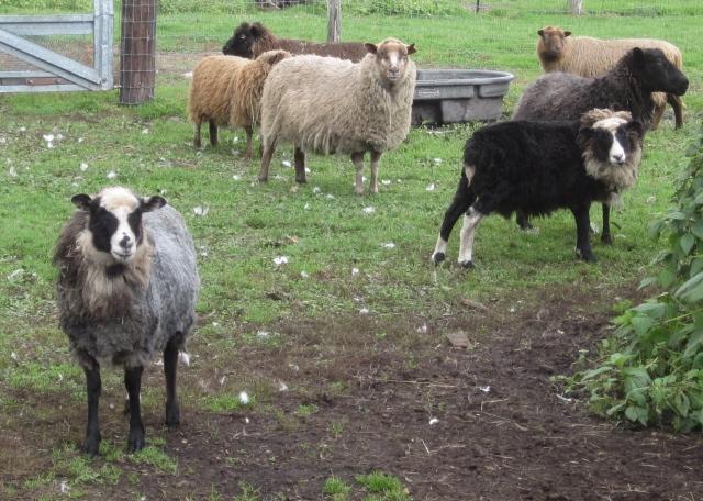 sheared lambs