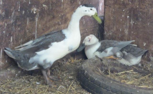 Surviving ducks