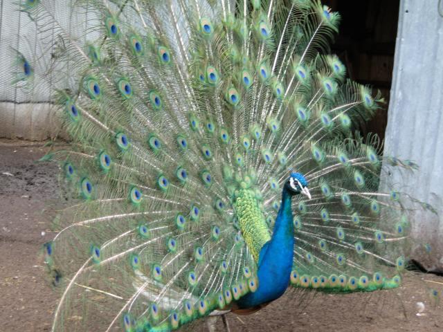 peacockfront