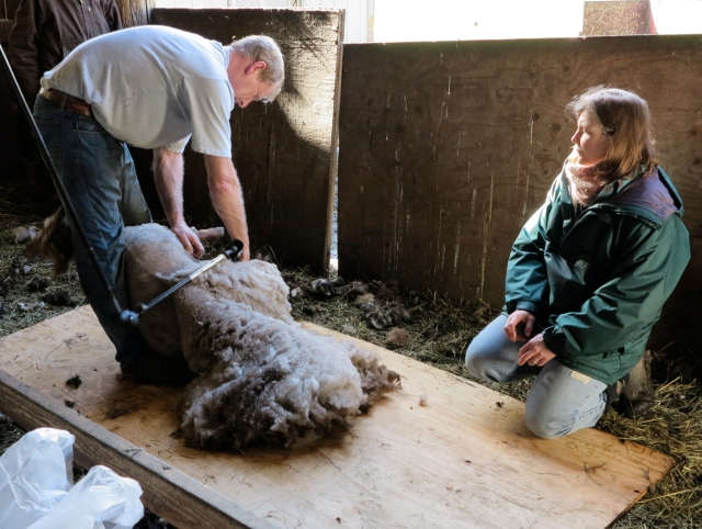 Bambam being sheared