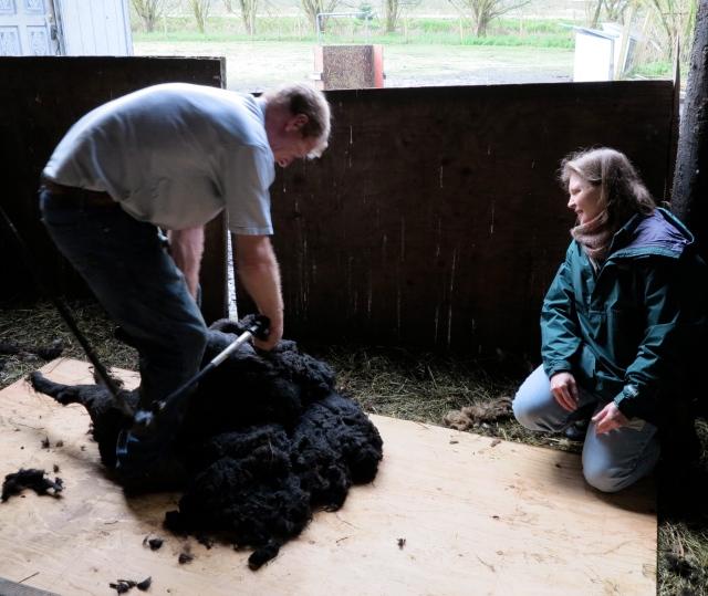 black Shetland being sheared