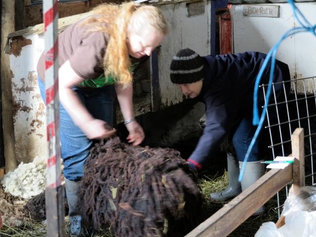 pre shearing picking