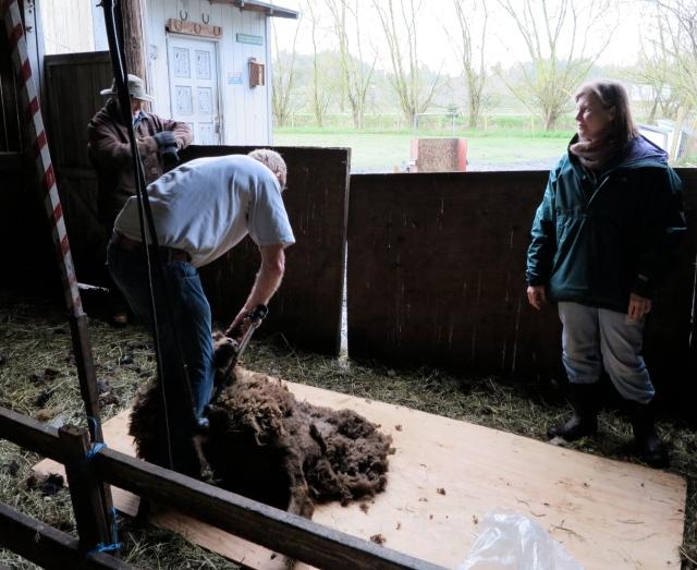 Shearing moorit Shetland