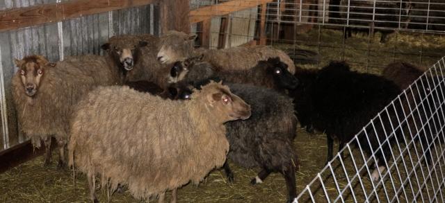 unshorn sheep