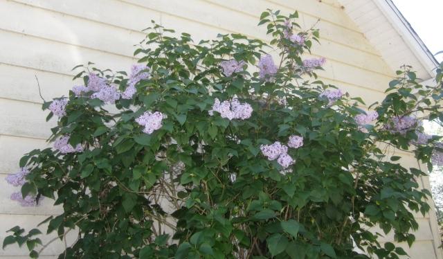 2711 lilac