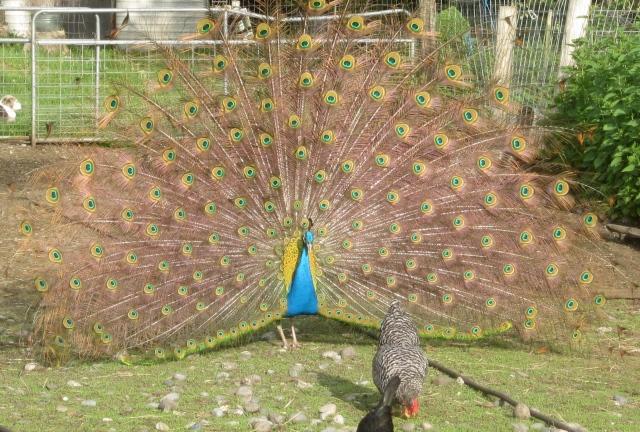 peacock in sun