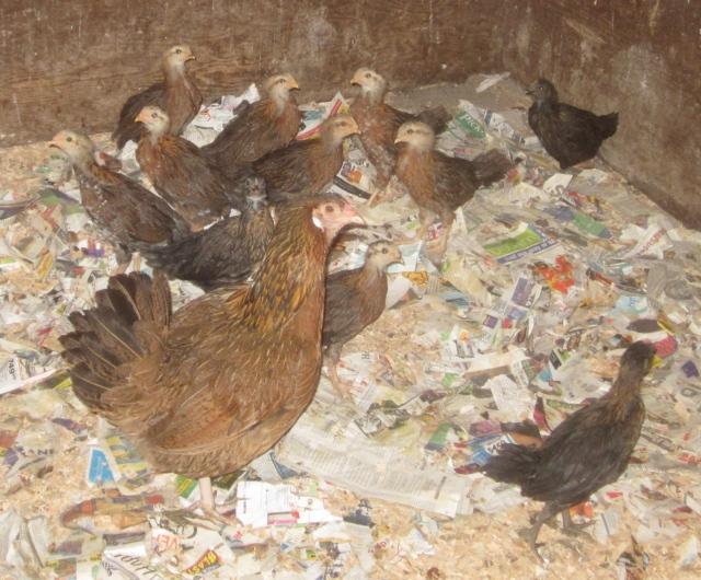 11 chicks growing up