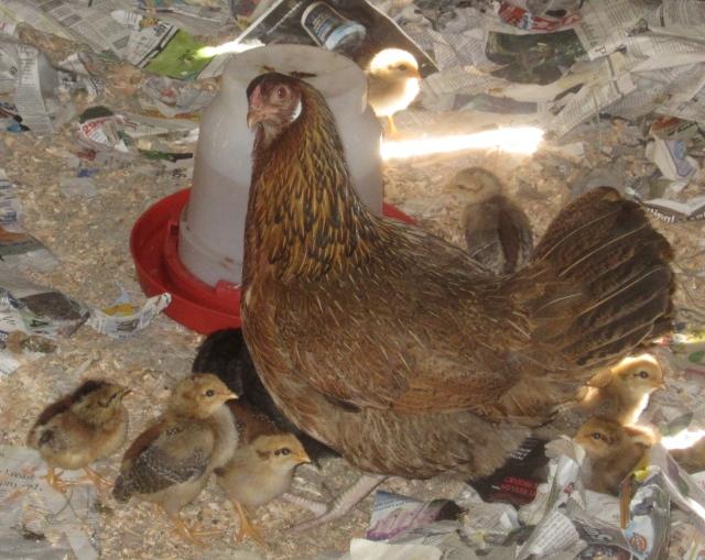 12 chicks