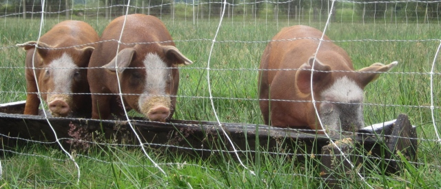 pigs and electric netting