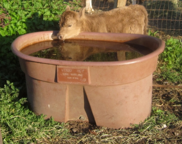 Sydney tall enough to drink from the big cow trough