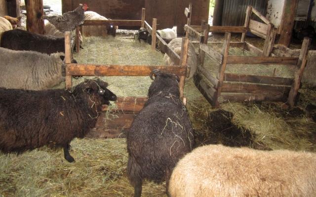 eating-hay-from-feeders
