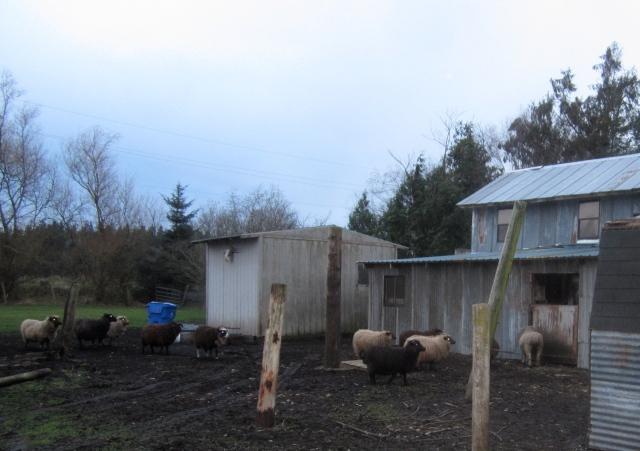inspecting-sheep