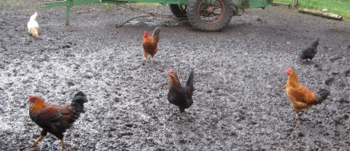 roosters_2