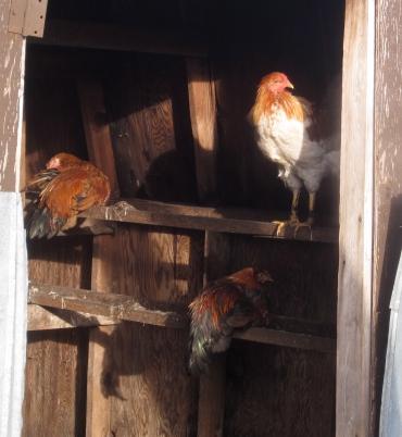 roosting-roosters