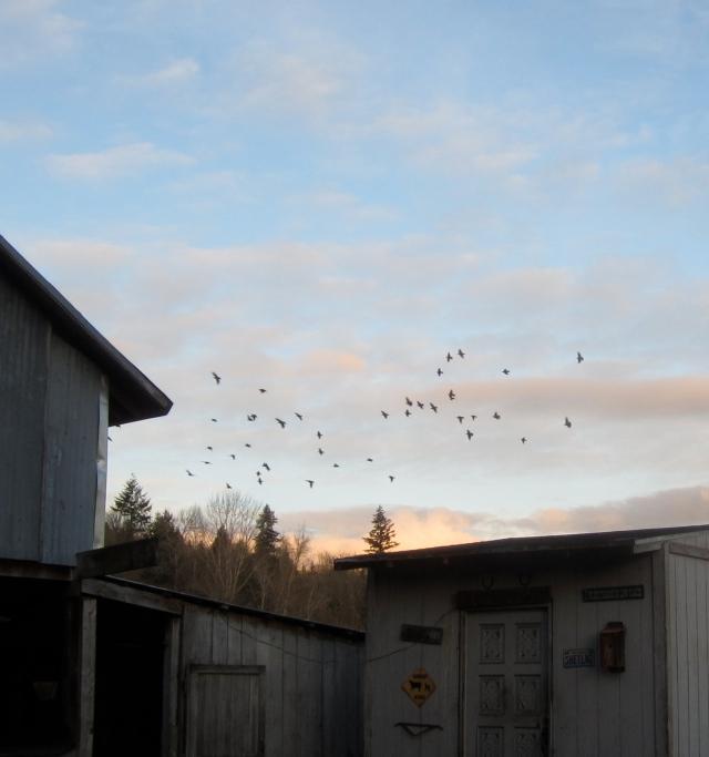 starlings_3