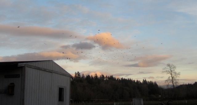 starlings_4