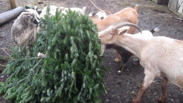 goats-eating-tree