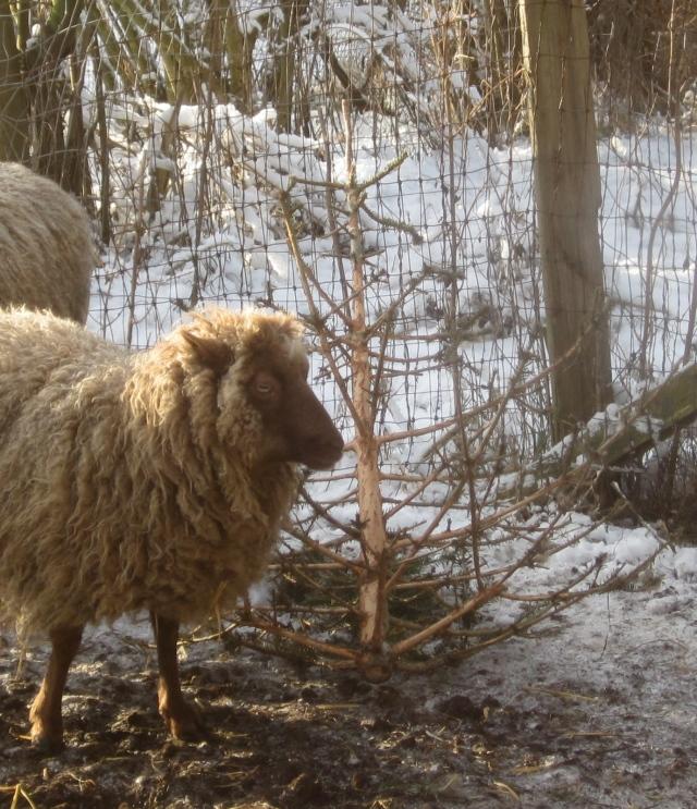 sheep-and-christmas-tree-top