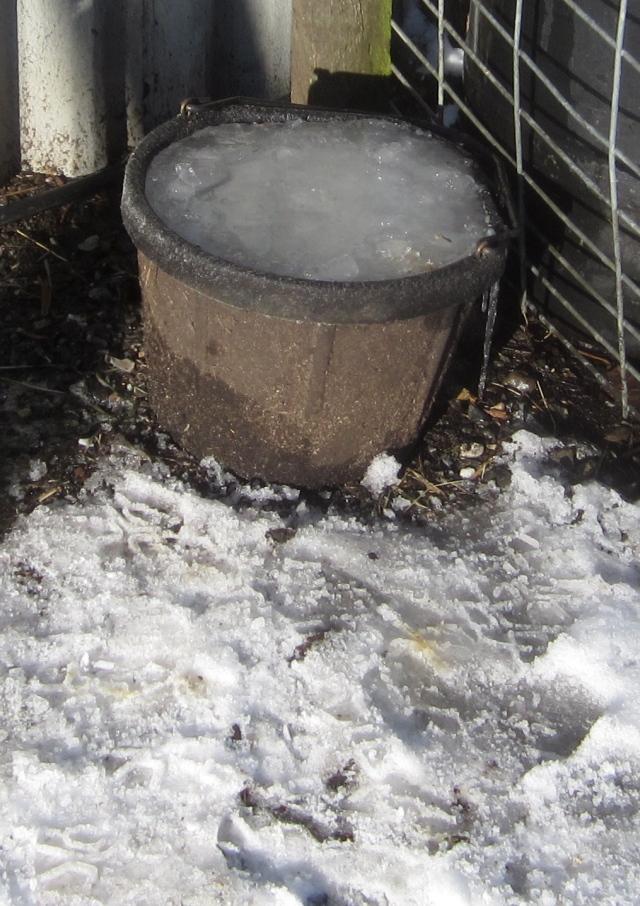 sheep-ice