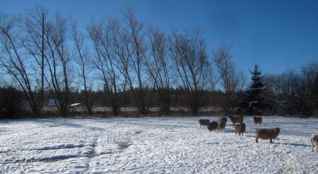 sheep-on-snow