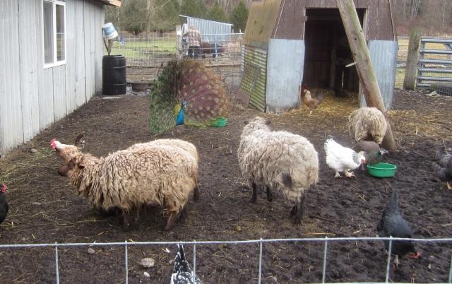 sheep-pen-3